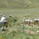 24 J2- Sur la route de Cusco, km 63, premiers alpagas !! (Copy)