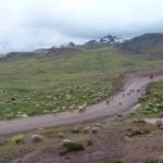 17- J13- km60, descente de l'Abra Chonta au milieu des alpagas