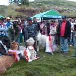 5- J11- Concours des plus beaux alpagas a Vinchos