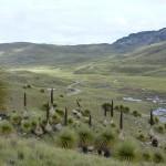 J23- Bivouac en bord de piste au milieu d'un bosquet des étonnantes Puya Raimondii