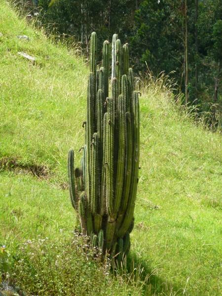 1 cactus de San Pedro, pour les adeptes du  shamanisme et des hallucinations